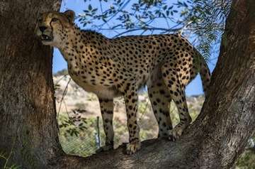 Noka, a 13-year-old male cheetah, is one of 16 cheetahs in an off-exhibit breeding facility at the San Diego Zoo Safari Park.