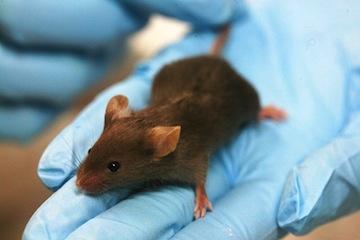 a lab mouse