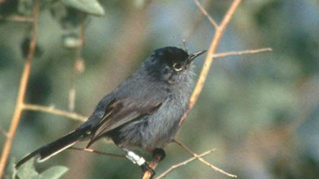 The California Gnatcatcher.