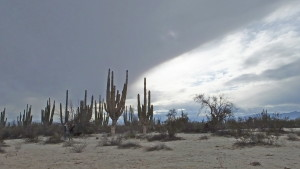 Saguaro beneath the clouds.