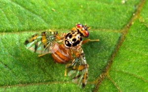 Male fruitfly