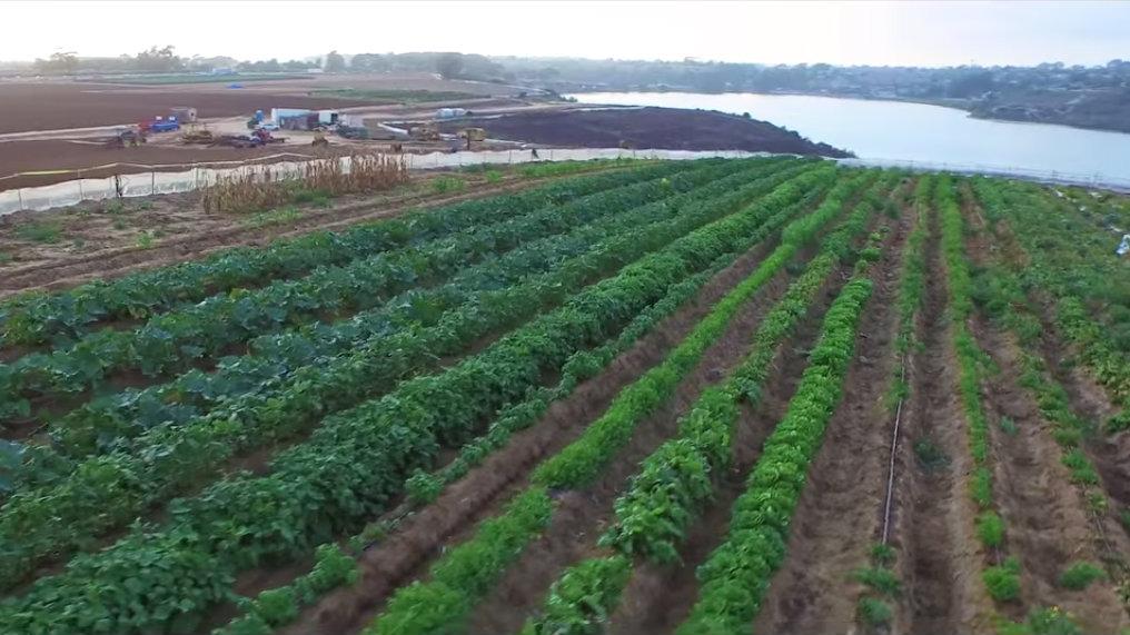 Carlsbad strawberry farm. (Courtesy of Caruso Affiliated)