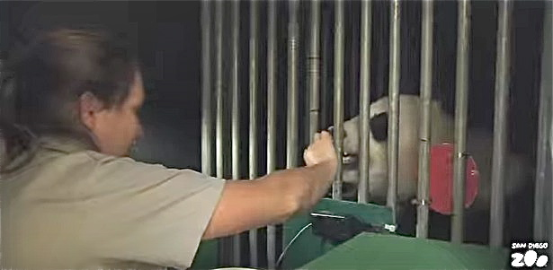 Researcher with Panda at the San Diego Zoo. (From San Diego Zoo video)