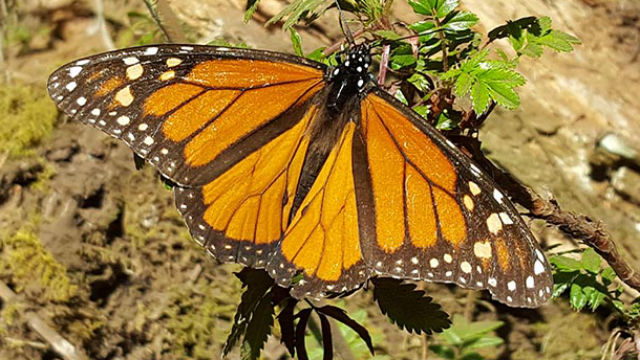A close-up of a male monarch butterfly. (Courtesy Scripps Research Institute)