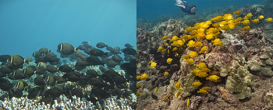 Scripps marine ecologist Emily Kelly studying reef fish in Hawaii. ( Credit: Don McLeish)