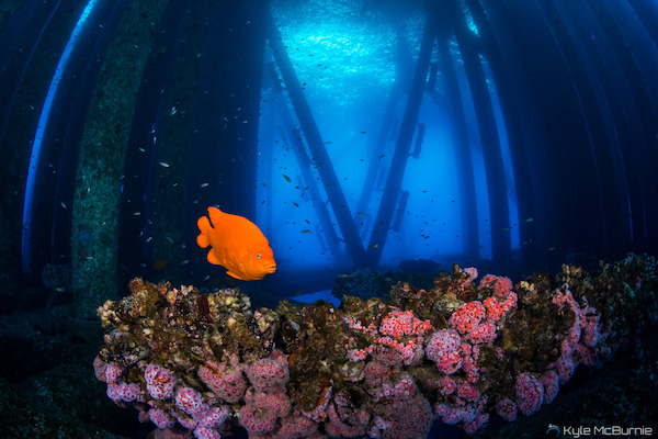 A garibaldi, the California State Fish, swims near an offshore oil structure in California. (Photo: Kyle McBurnie)