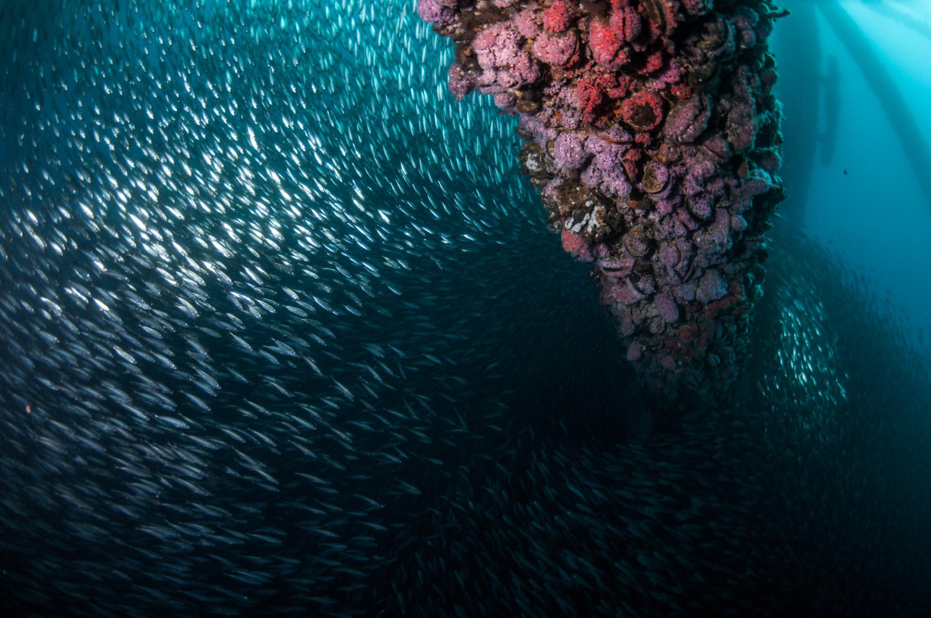 Jack mackerel swarm around Platform Eureka's invertebrate-covered legs. (Photo: Caine Delacy)