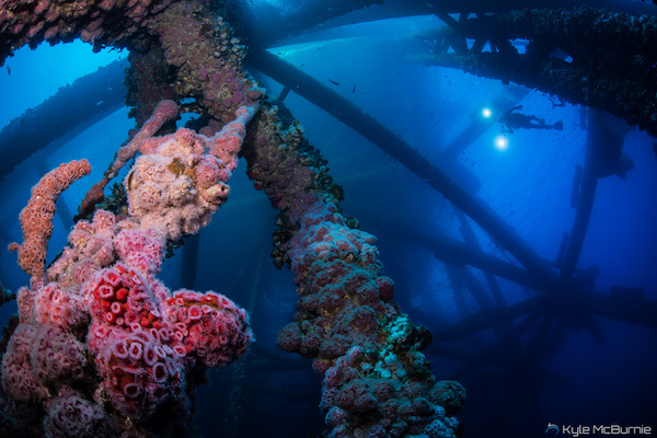 Marine life covers the underwater structure of an offshore oil rig in California. (Photo: Kyle McBurnie)