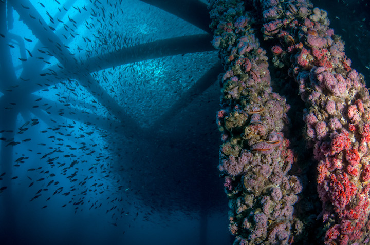 Marine life covers the underwater structure of an offshore oil rig in California. (Photo: Caine Delacy)