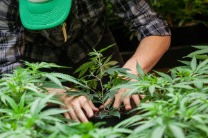 Pot grower (Shutterstock)