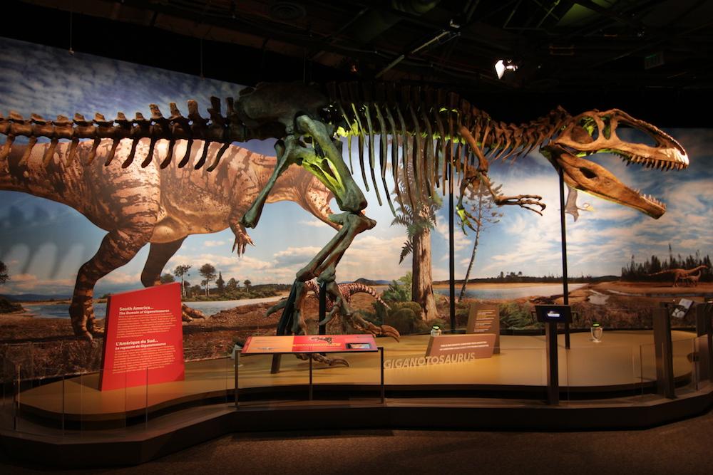 Giganotosaurus at the San Diego Natural History Museum.
