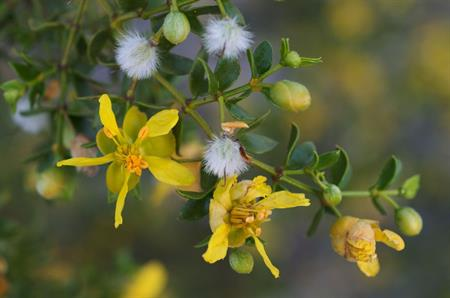 Flowers on a blooming creosote bush, found to produce anti-parasitic compounds. (Image courtesy of Wikipedia)