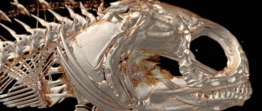Bone scan of Yellowfin Fringehead (Neoclinus stephensae)