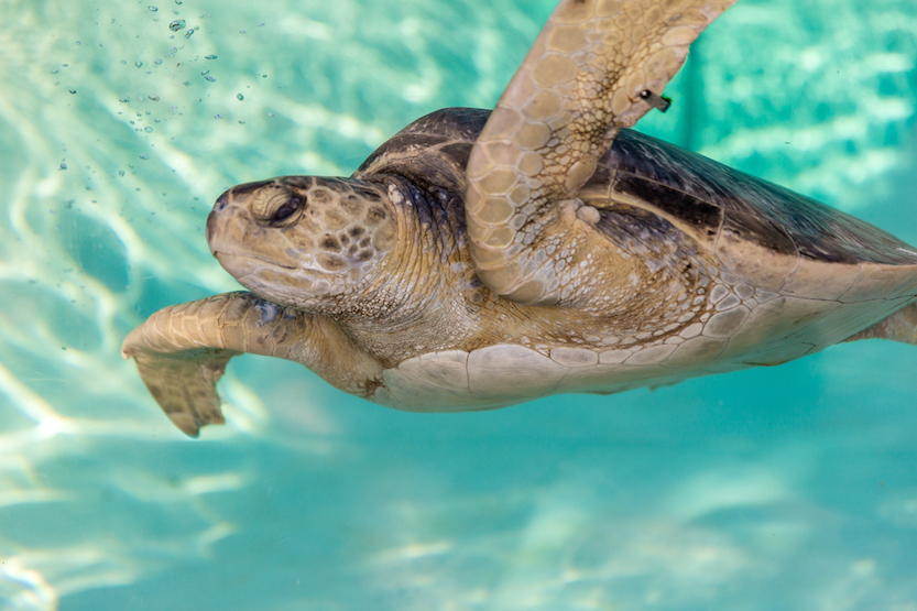 An endangered Eastern Pacific sea turtle.