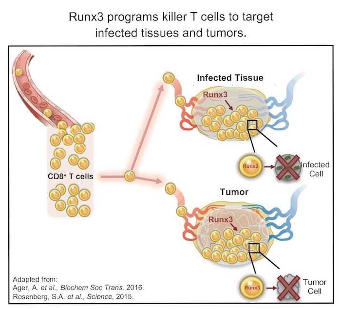 The protein Runx3 programs killer T cells to target infected tissues and tumors.